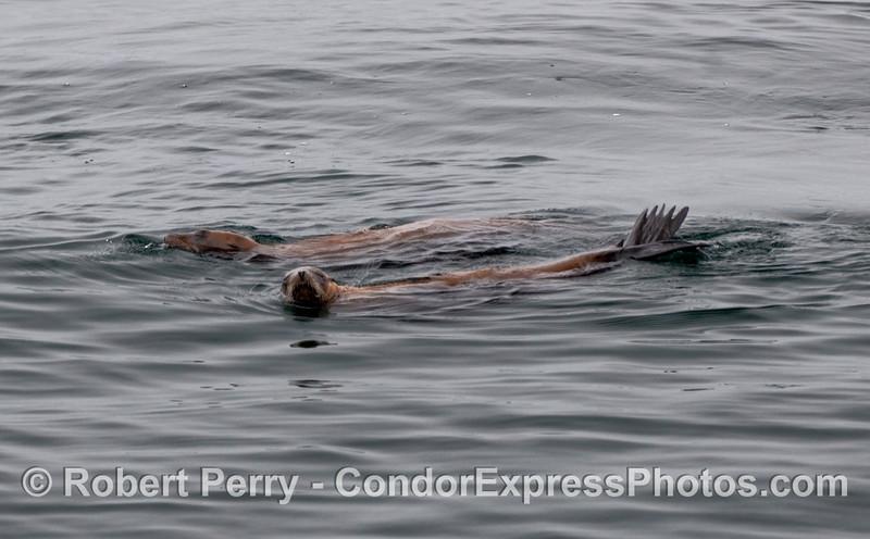 Two resting California Sea Lions (Zalophus californianus).