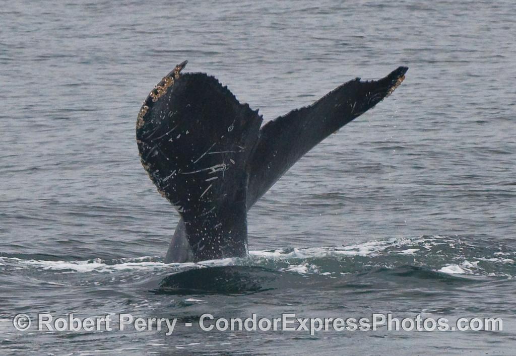 Humpback Whale (Megaptera novaeangliae) tail fluke.