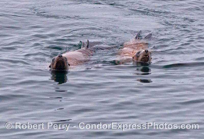 Two curious California Sea Lions (Zalophus californianus).