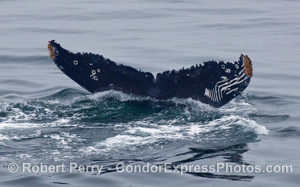 A Humpback Whale (Megaptera novaeangliae) tail fluke shows scars from being raked by Orca teeth.