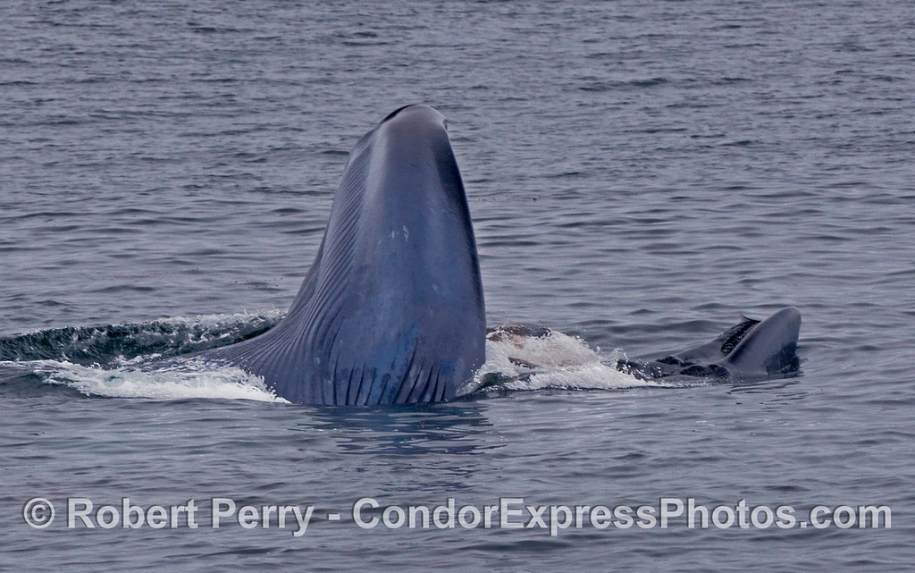 Upside down Blue Whale (Balaenoptera musculus) lunge.  The tip of the nose is to the right where some baleen is visible, and the chin is on the left where the ventral pleats can be seen expanded like an accordion.