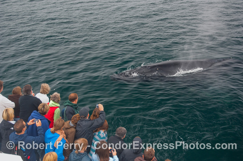 Thar she blows!  A friendly Humpback Whale (Megaptera novaeangliae) greets the whalers on board the Condor Express.