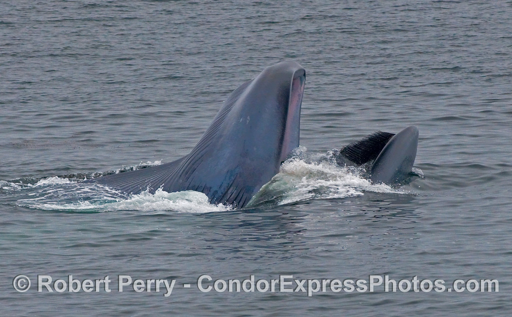 A Blue Whale (Balaenoptera musculus) closes its mouth and ejects water to extract krill using its baleen strainers.  The belly side (with ventral pleats) is to the left, back side (with baleen) is to the right.