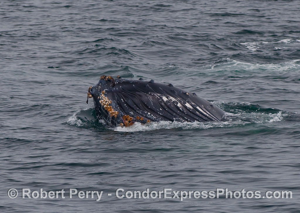 The chin of this Humpback Whale (Megaptera novaeangliae) shows the beginning of its ventral pleats and lots of barnacles as it is caught in the act of lunge feeding upside down.