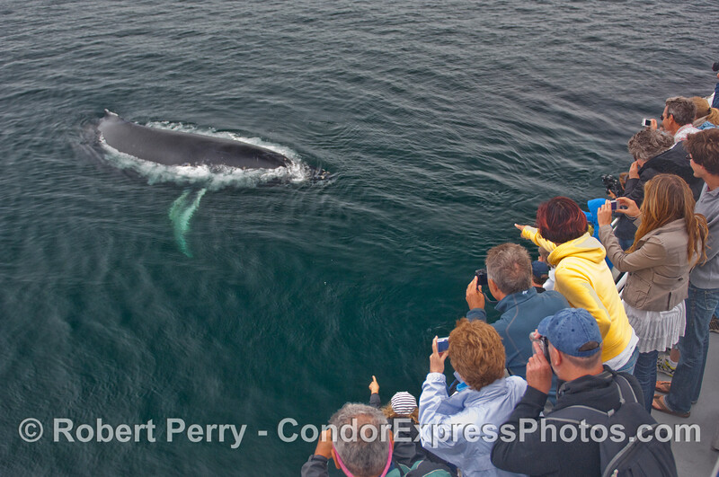A friendly Humpback Whale (Megaptera novaeangliae) visits the whalers on board the Condor Express.