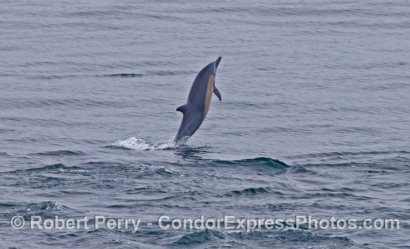 Leaping Common Dolphin (Delphinus capensis).
