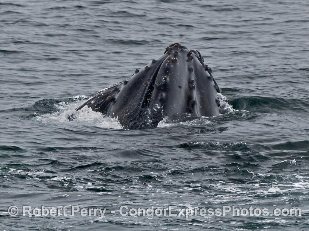 Another lunge feeding Humpback Whale (Megaptera novaeangliae), this one shows the knobby head.