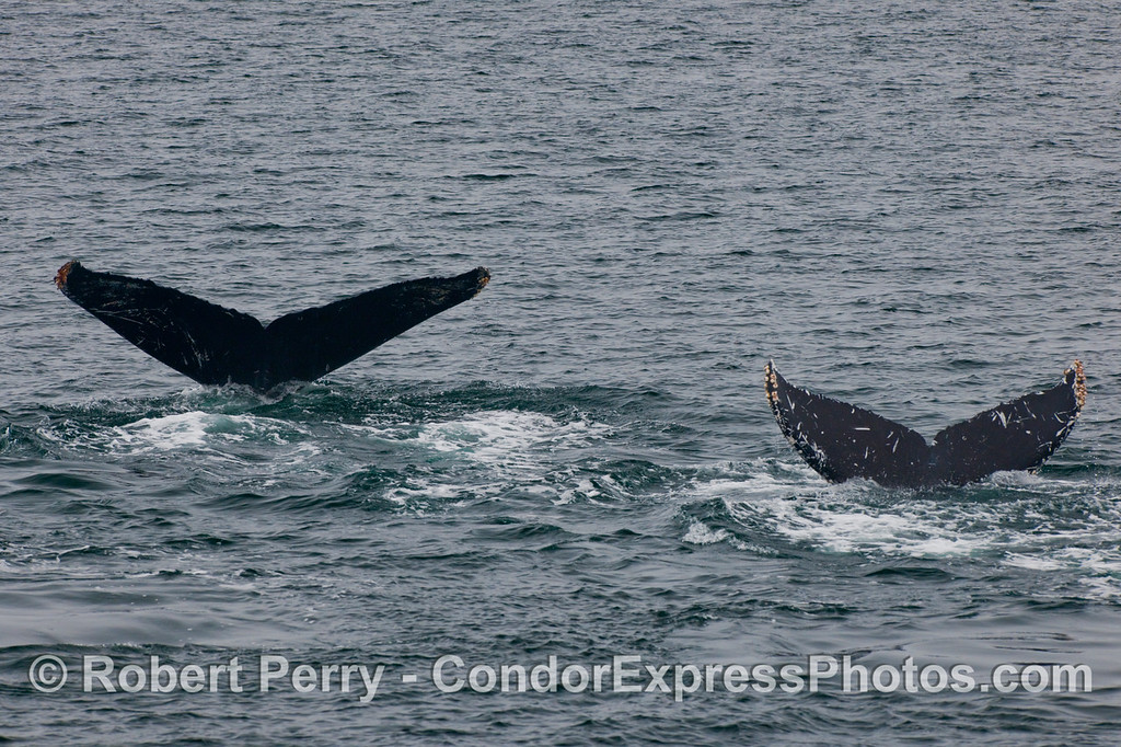 Twin tail flukes of Humpback Whales (Megaptera novaeangliae) give us a wave.