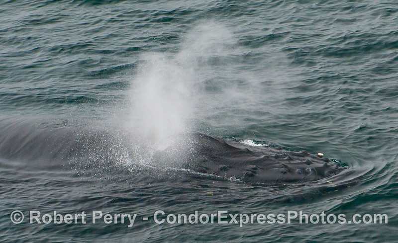 A close look at a Humpback Whale (Megaptera novaeangliae) spouting.