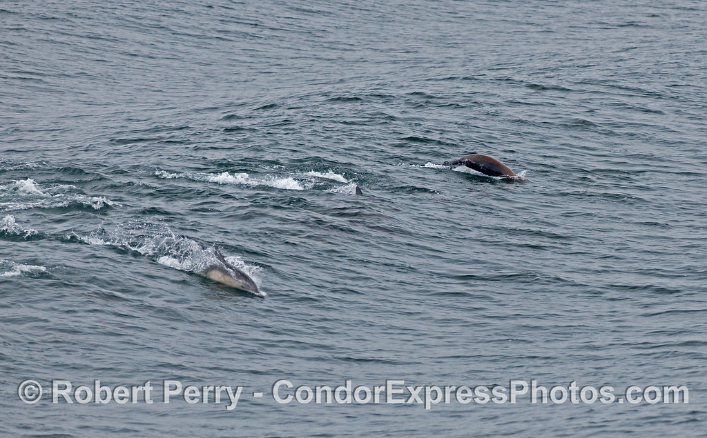 Surfin' buddies:  A couple of Common Dolphins (Delphinus capensis) surf an open ocean swell alongside a California Sea Lion (Zalophus californianus).