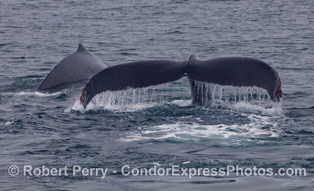 Two Humpback Whales (Megaptera novaeangliae), one fluking.