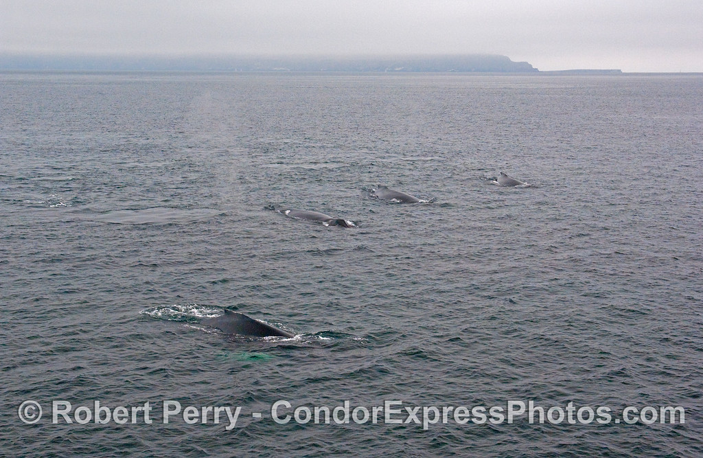 There are actually FIVE Humpback Whale (Megaptera novaeangliae) in this photograph, with the West End and Frasier Point on Santa Cruz Island visible in the background.  Whale #5 is hard to see, it's on the left center edge of the picture behind a large fluke print on the surface...only the tip of its dorsal is above water so don't feel bad if you can't see it easily.