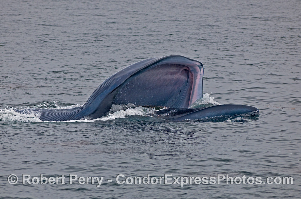 Image sequence:  2 of 4.  A lunge feeding Blue Whale (Balaenoptera musculus). The upper jaw/head is on the bottom.