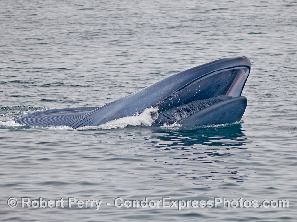 Upside down lunge feeding Blue Whale (Balaenoptera musculus). The upper jaw with baleen is on the bottom.  Expanded ventral pleats can be seen on the left edge of the photograph.