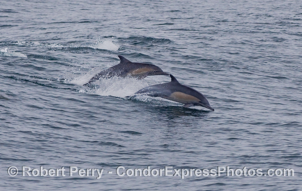 Two Common Dolphins (Delphinus capensis) leaping across the waves.