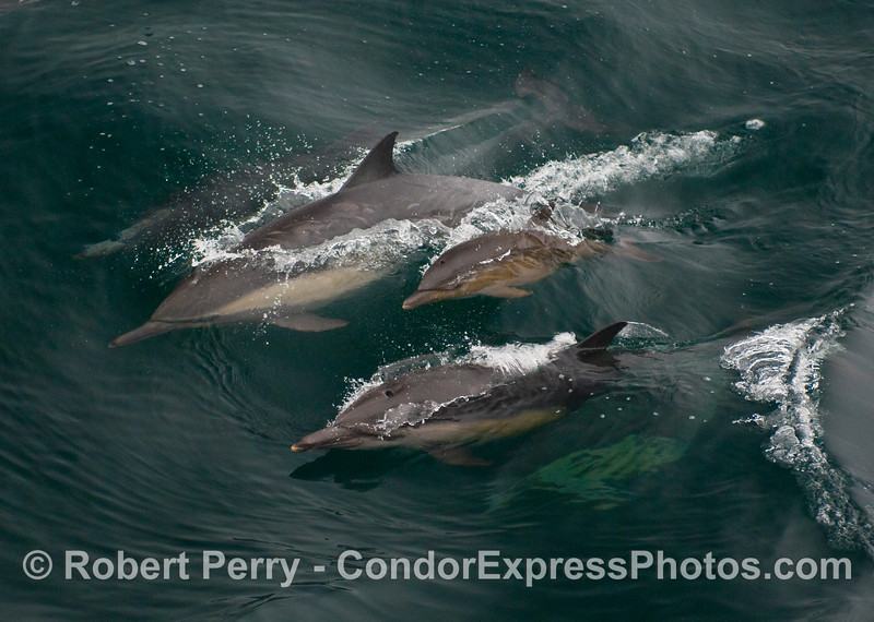 A Common Dolphin (Delphinus capensis) calf, a bit larger than the others photographed today, riding in the protective custody of mom and another adult.