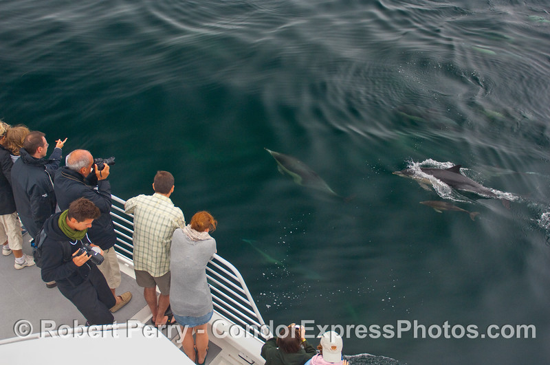 Here comes mom and her calf paying a visit to the whalers on board the Condor Express.