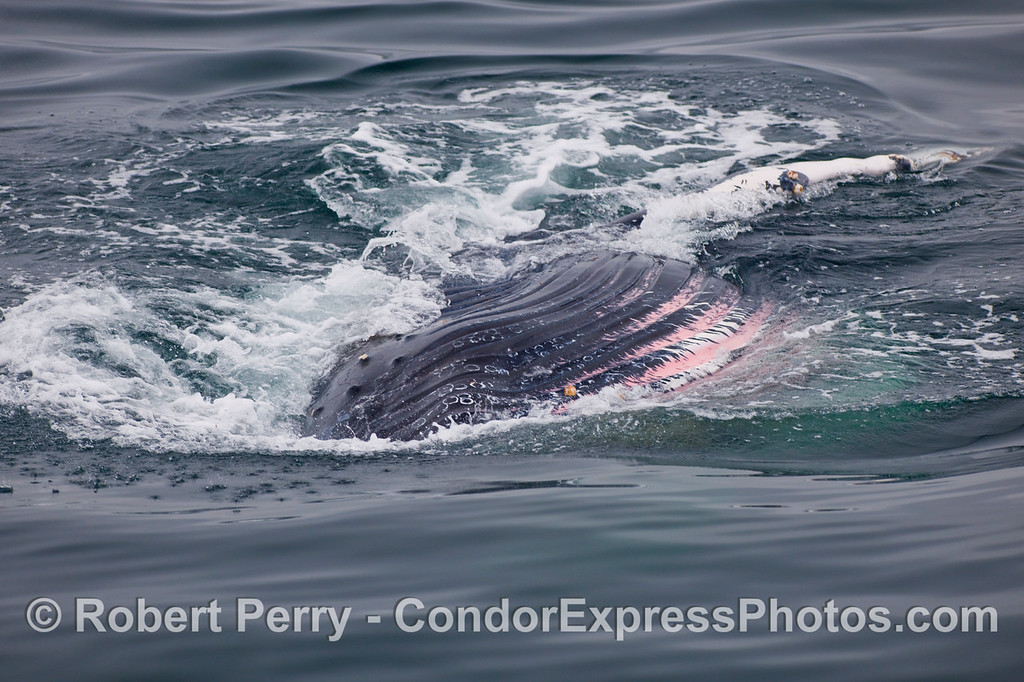 An almost upside down Humpback Whale (Megaptera novaeangliae) has rolled over on its right side exposing its ventral pleats as it lunges for krill.