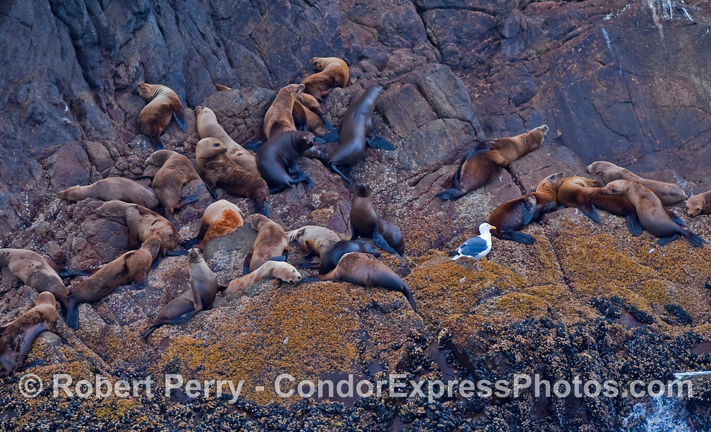 A congregation of young California Sea Lions (Zalophus californianus) are hauled out on the rocky ledges of Santa Cruz Island along with one curious Western Gull (Larus occidentalis).