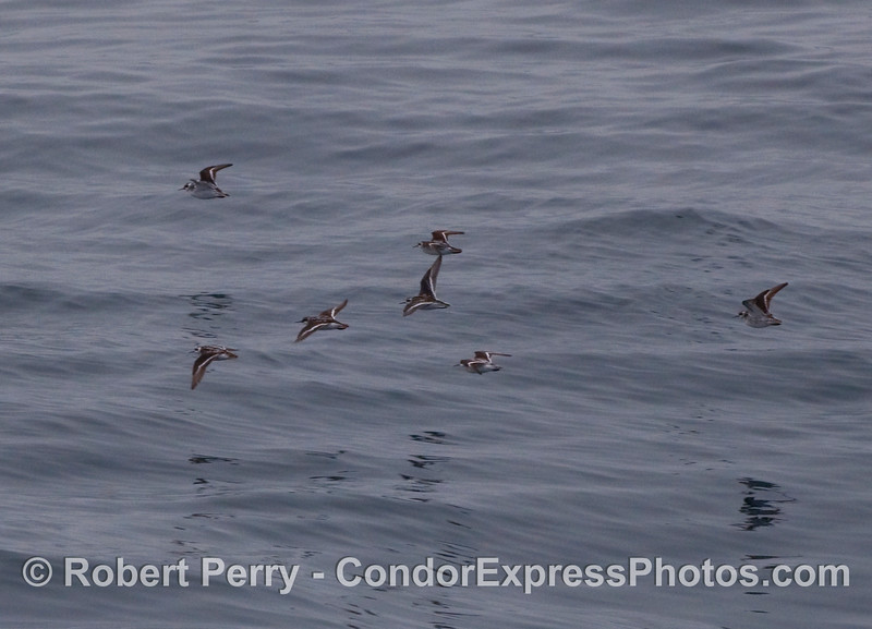 Tiny krill-eating Red Necked Phalaropes (Phalaropus lobatus) take off across the ocean as the Condor Express approaches.