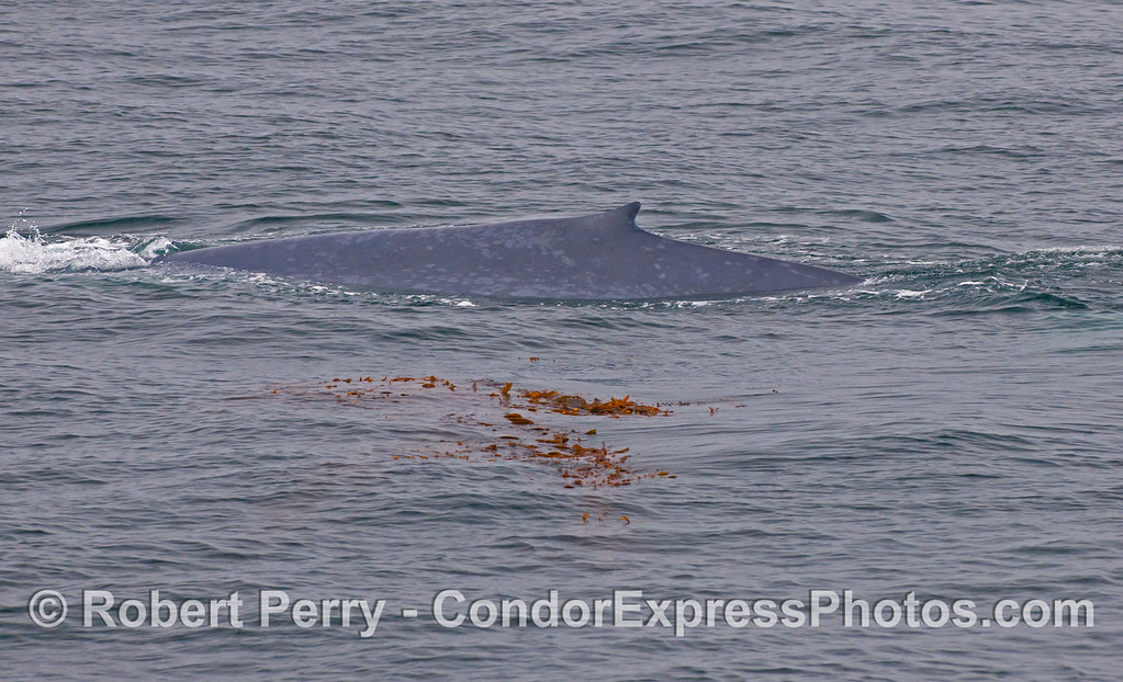 Dorsal fin and left side of a Blue Whale (Balaenoptera musculus) swimming near a patch of drifting Giant Kelp (Macrocystis pyrifera).