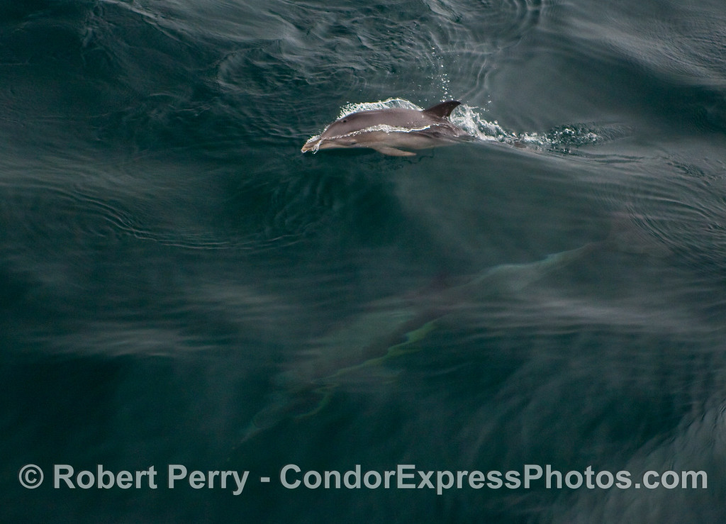 Common Dolphins (Delphinus capensis) image 2 of 2:  Mom underwater as junior come up to take a breath of air.