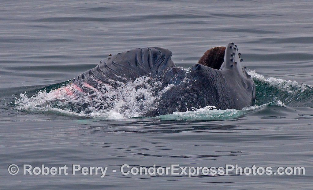 This Humpback Whale (Megaptera novaeangliae) is lunge feeding away from the camera which allows us to see the enormity of the gullar pouch with ventral pleats fully expanded.