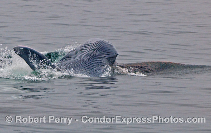 A patch of red krill (Thysanoessa spinifera) is seen spilling out of the open mouth of this Blue Whale (Balaenoptera musculus) as it lunges from left to right, upside down.  The left  pectoral fin and its ventral pleats are also visible.
