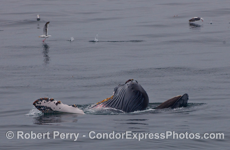 This Humpback Whale (Megaptera novaeangliae) is on its back gulping food.  Note the ventral pleats, left pectoral fin, and the tip of the nose with baleen hanging from the upper jaw.  A few gulls take off to escape possible danger in the background.