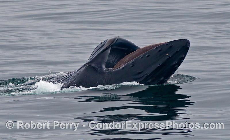 A dorsal view of a Humpback Whale (Megaptera novaeangliae) lunge feeding.