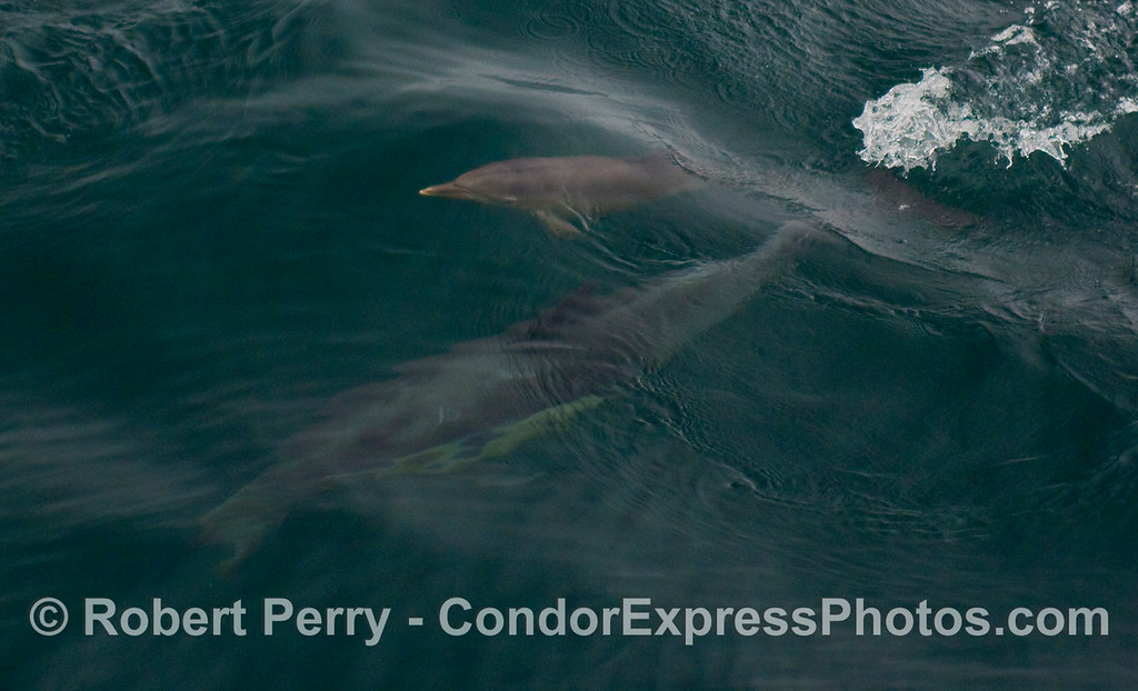 Common Dolphins (Delphinus capensis) image 1 of 2:  Mom and her calf underwater as junior heads for the surface.