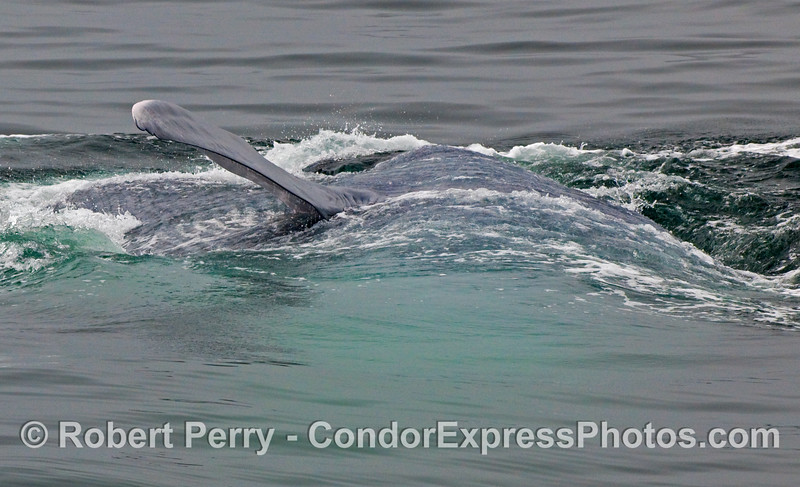 The left pectoral fin of a Blue Whale (Balaenoptera musculus) on its right side.  The huge water-filled expanded pleats are to the left of the photo, and the back of the animal is to the right.