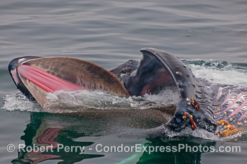 A rare opportunity to look directly into the gaping mouth of a lunge-feeding Humpback Whale (Megaptera novaeangliae) as it scoops up the krill laden water.  The animal is rolled over on its right side so baleen can be seen on both sides of the pink palate, and the expanded ventral (belly) pleats are visible to the right side.  Yummy.