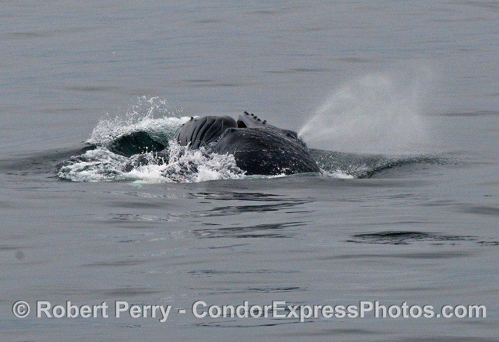 In the final stages of a lunge feeding sequence, this Humpback Whale (Megaptera novaeangliae) has its mouth almost fully closed up and is spouting at the same time.
