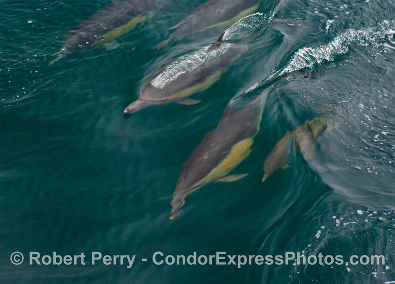 A mother Common Dolphin (Delphinus capensis) teaches her calf how to surf a small open ocean wave.