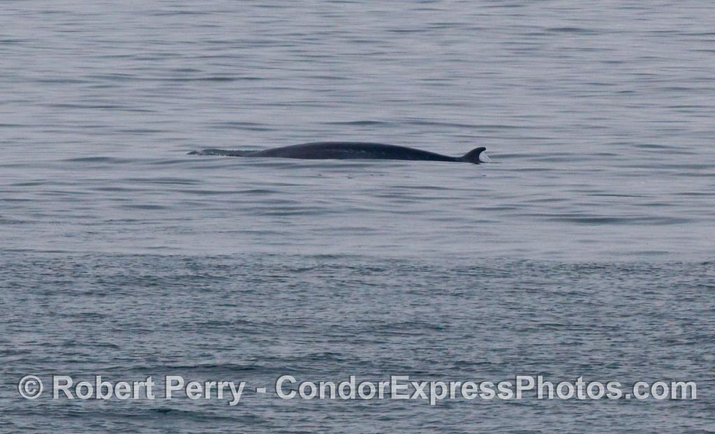 A distant look at a shy Minke Whale (Balaenoptera acutorostrata).