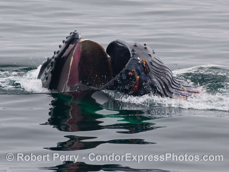 A lunge feeding Humpback Whale (Megaptera novaeangliae) is seen closing its mouth around several hundred gallons of seawater full of krill.  The head of this beast is to the left and the ventral pleats are fully expanded to the right.  Notice how the long, tan baleen plates curve down to fit perfectly inside the lower lips.