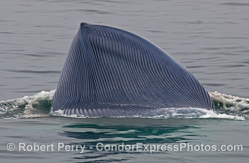 Here are the ventral pleats of a lunge feeding Blue Whale (Balaenoptera musculus); the giant is feeding on krill.