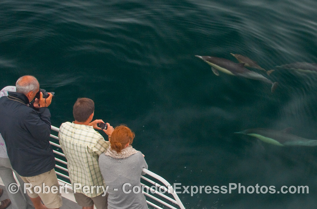 Whalers on board the Condor Express get a visit by curious Common Dolphins (Delphinus capensis) including a mother and her very small calf.