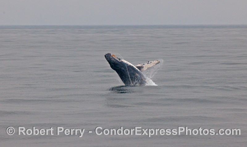 A mighty Humpback Whale (Megaptera novaeangliae) breaches out in front of the Condor Express.