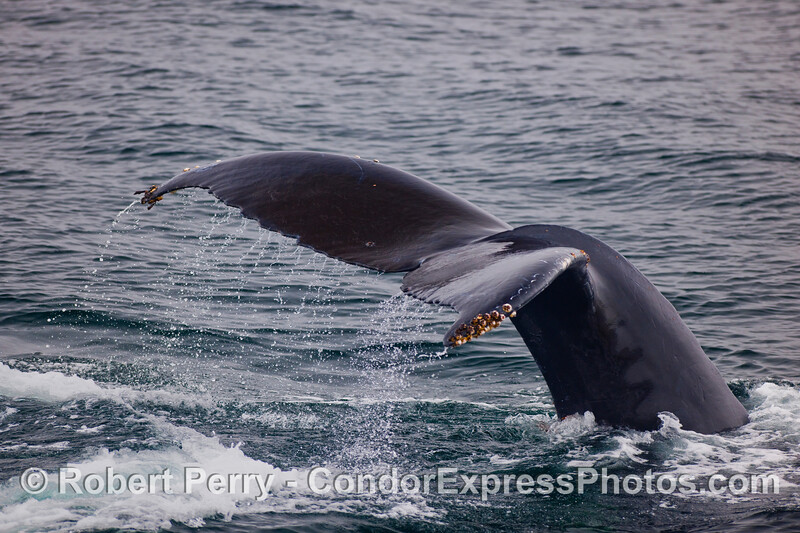 A Humpback Whale (Megaptera novaeangliae) kicks up its tail and heads for a deep dive.