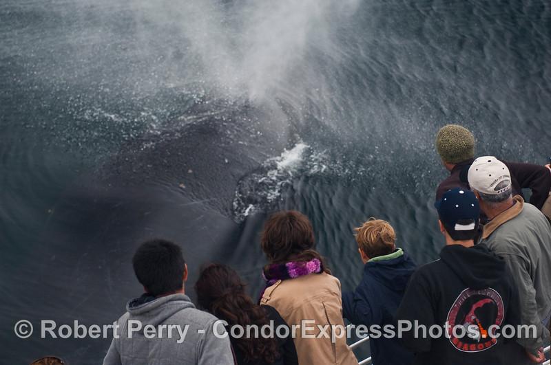 Baptism by Humpback Whale (Megaptera novaeangliae).