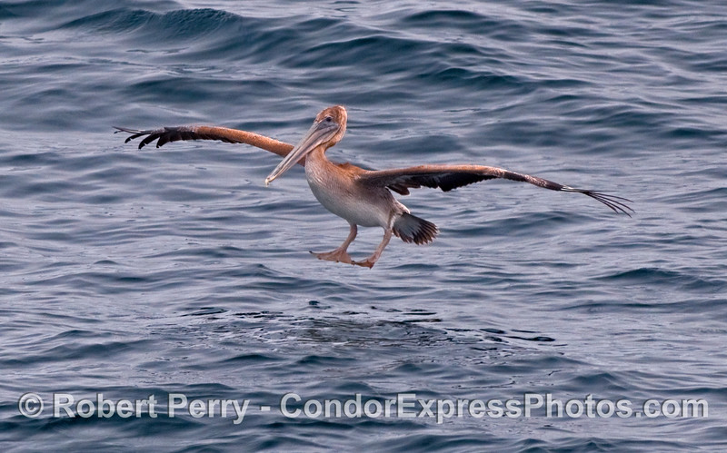 A young Brown Pelican (Pelecanus occidentalis) puts down its landing gears and prepares for impact.