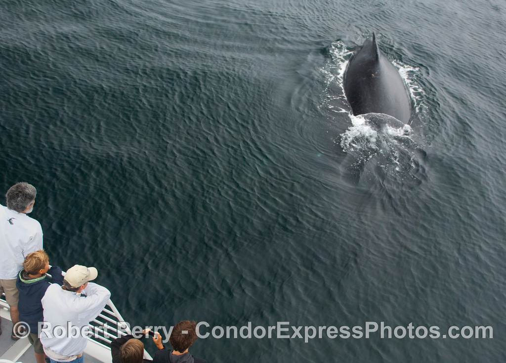 The friendly Humpback Whale (Megaptera novaeangliae) takes another pass by the whalers on board the Condor Express.