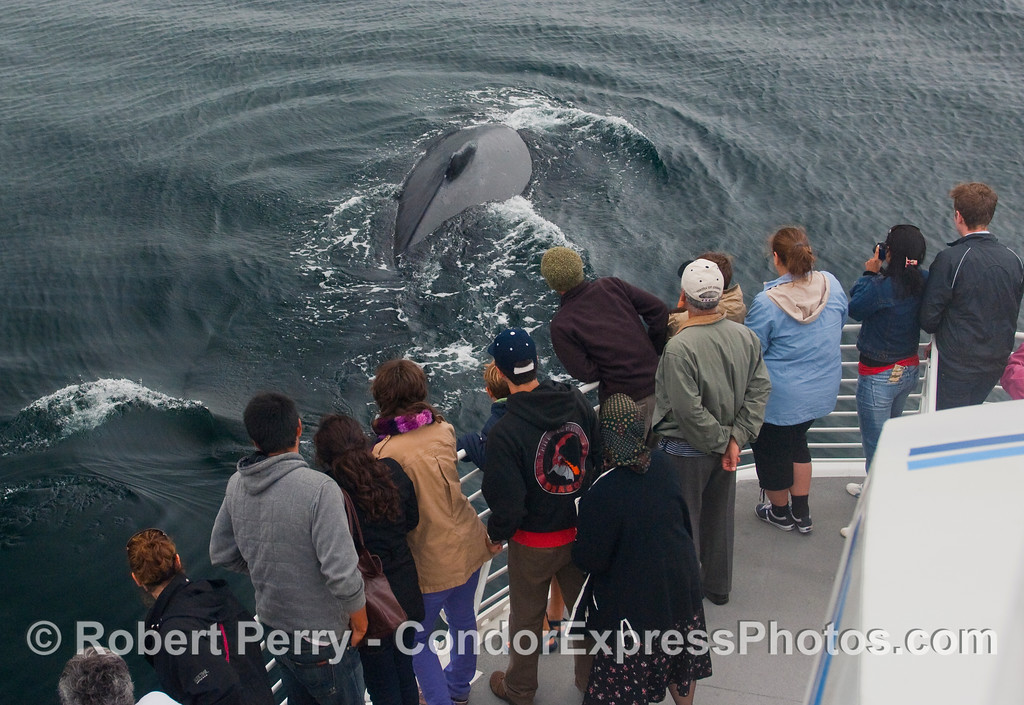 A  friendly Humpback Whale (Megaptera novaeangliae) shows its  hump and dorsal fin to the whalers on board the Condor Express.