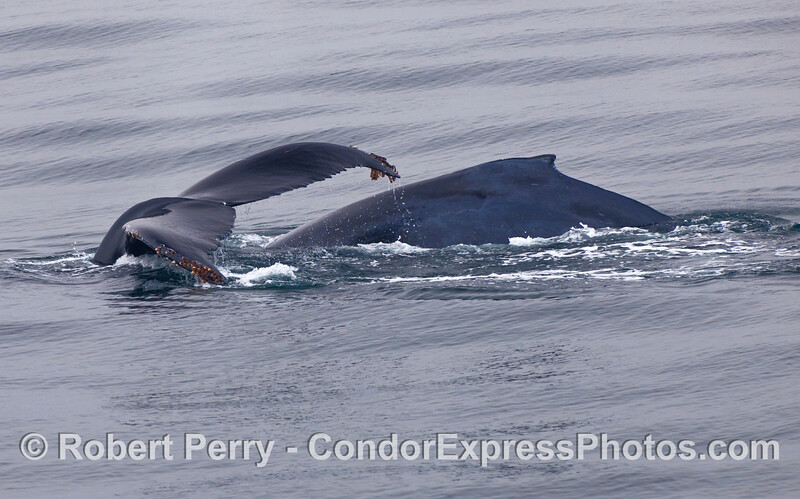 Two Humpbacks (Megaptera novaeangliae) side by side.