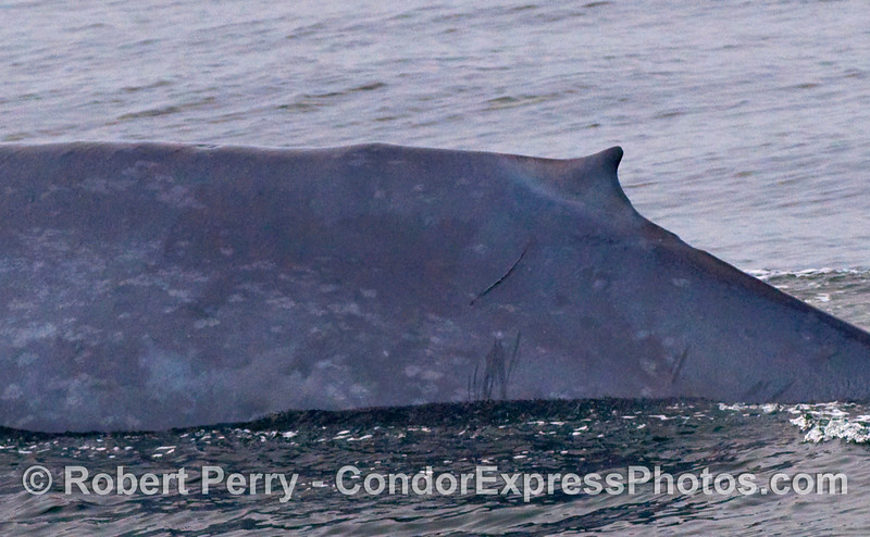 Left lateral profile of a Blue Whale (Balaenoptera musculus).