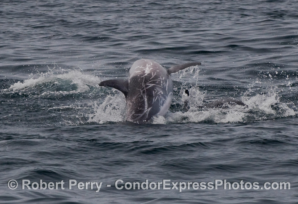 A leaping Risso's Dolphin (Grampus griseus).