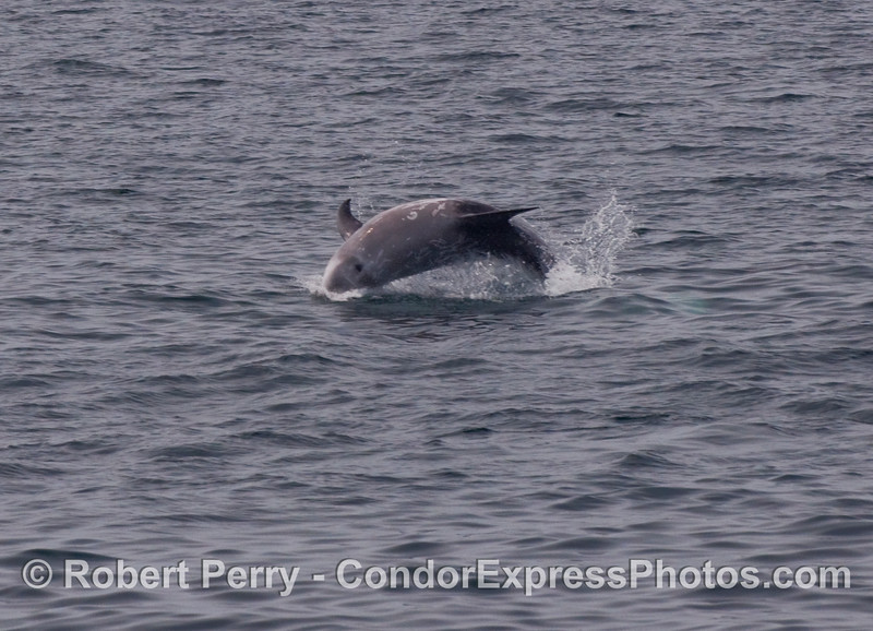 Leaping Risso's Dolphin (Grampus griseus)...a fairly rare occurence.