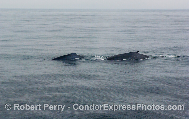 Twin Humpback Whales (Megaptera novaeangliae) on a very calm sea surface.